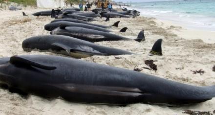 Más de 150 ballenas varadas en el suroeste de Australia