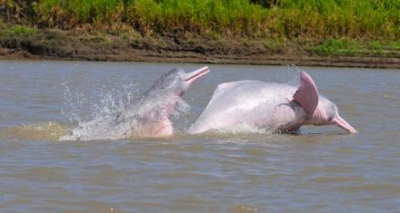 Acuerdo para conservar los delfines de río en Sudamérica