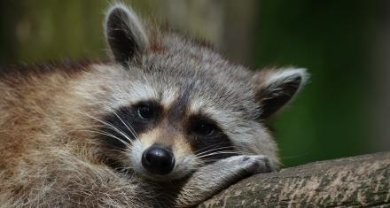 En Madrid la proliferación de mapaches representa un problema para el medio ambiente