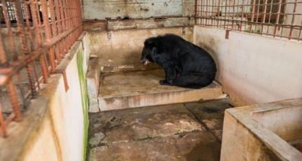 Rescatan a cinco osos de la tortura de la extracción de bilis