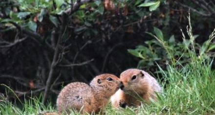 Omega-3 Fat Helps Keep Hibernating Ground Squirrels Warm