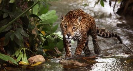 Las estrategias de México para proteger al Jaguar