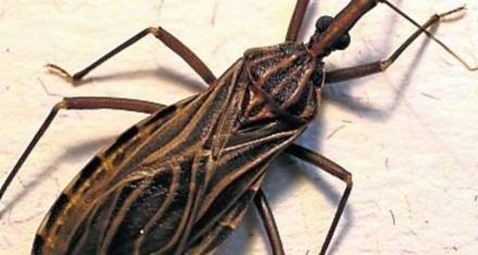 En Argentina cuatro niños por día nacen con Chagas