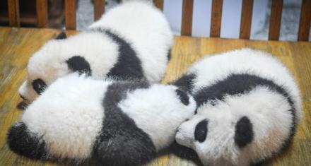 Primer parque nacional de osos panda gigante en China