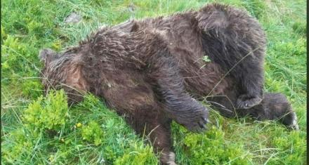 Mataron a tiros a un oso pardo, especie en peligro de extinción, en el Pirineo francés