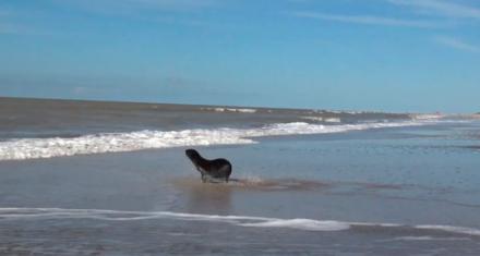Lobo marino rescatado en Dock Sud fue devuelto al mar