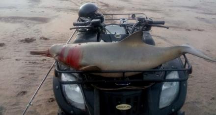 Delfín desangrado fue paseado por la playa en un cuatriciclo
