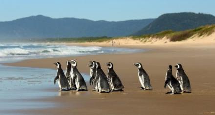 Brasil: En 6 meses miles de pingüinos fueron rescatados de las playas