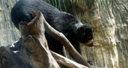 Colombia: El oso Chucho en el centro del debate por los derechos de los animales