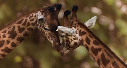 Kenia lanzó un plan de protección y recuperación para las jirafas