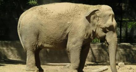 Argentina y Brasil flexibilizaron sus fronteras para que la elefanta Mara acceda al santuario en Brasil