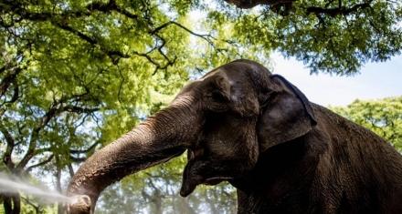 Mara, la elefanta del ecoparque porteño llego en buen estado de salud al santuario brasilero