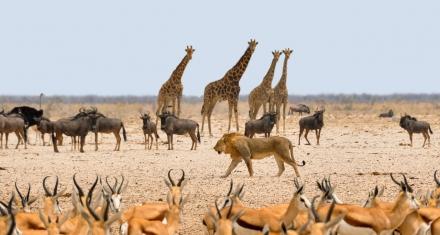Subastarán un millar de animales salvajes por escasez de agua en Namibia