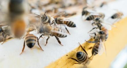 España: El nuevo plan para salvar a las abejas no prohibe insecticidas dañinos