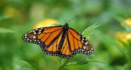 Mariposa monarca en peligro por la destrucción de su hábitat natural