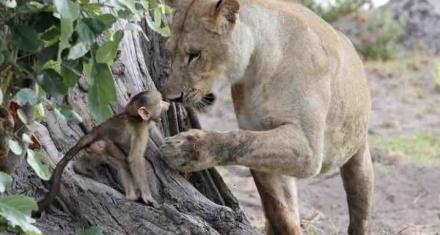 Conmovedor: La reacción de una leona que salvó a un mono bebé