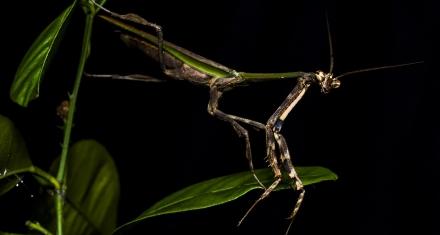 Brasil: Descubren una nueva especie de mantis religiosa