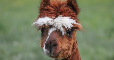 Una vacuna contra el coronavirus comienza a probarse en alpacas