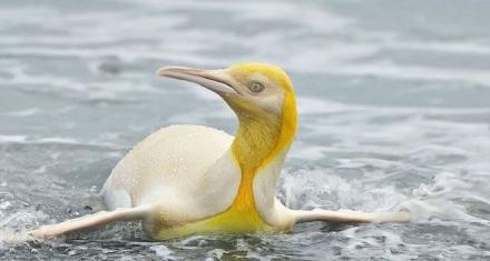 Por primera vez en la antártida fue avistado un pingüino amarillo