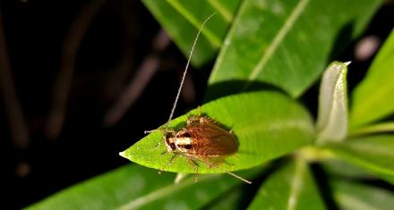 Las cucarachas están rápidamente evolucionando para ser resistentes a los insecticidas