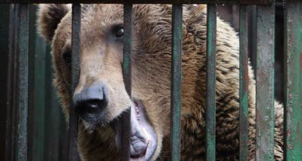 Oso pardo encerrado por 8 años en una jaula diminuta