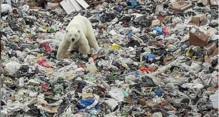 Rusia: Apareció un oso polar hambriento en una ciudad