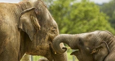 Asia: Más de 12 millones de cepos amenazan la fauna salvaje del sudeste de la región