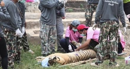 Tailandia: Mueren 86 de los 17 tigres que fueron rescatados de un templo