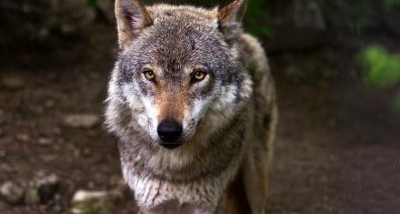 Suiza: Referéndum que prohibirá la caza de lobos