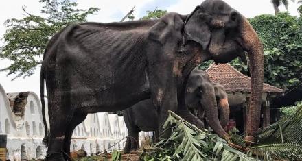 Sri Lanka: Elefanta de 70 años explotada en un festival