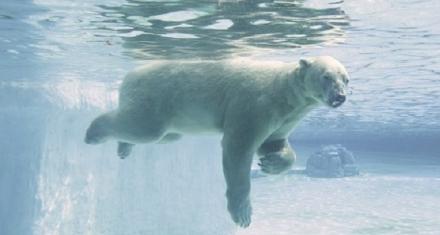 Murió el único oso polar nacido en el trópico