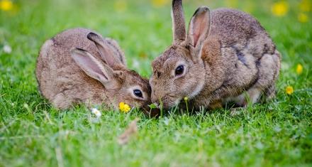 Europa: Declaran al conejo como una especie en peligro de extinción