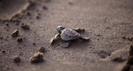 Tortugas marinas, las mayores víctimas del derrame de petróleo en Brasil