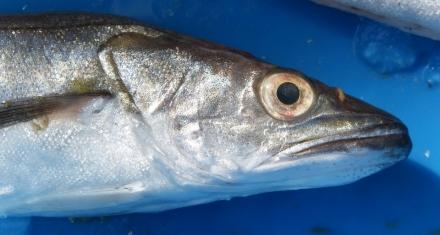 Con el aumento del calor, reducir la pesca no será suficiente para recuperar las especies