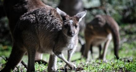 El cambio climático acabó con la megafauna de Australia