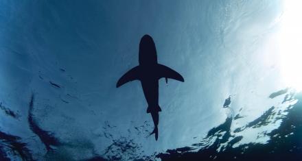 Galápagos: Se observaron dos nuevas variedades de tiburón
