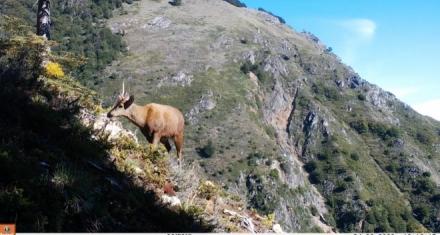 Chile: Nuevos registros de ciervo andino en extinción al norte de la Patagonia