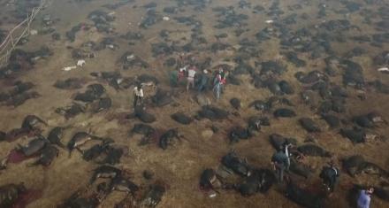 Nepal: La mayor masacre de animales en el mundo