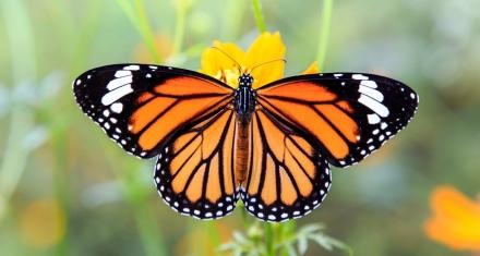 México registró 26 % menos de población de mariposas monarca a causa de la deforestación y el cambio climático