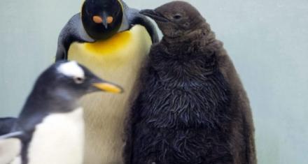 Disminuyó dramáticamente la mayor colonia del Pingüino Rey