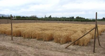 Argentina: ¿Primer país del mundo con trigo transgénico?