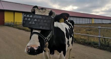 Rusia: Gafas de realidad virtual a las vacas para que aumente la producción de leche