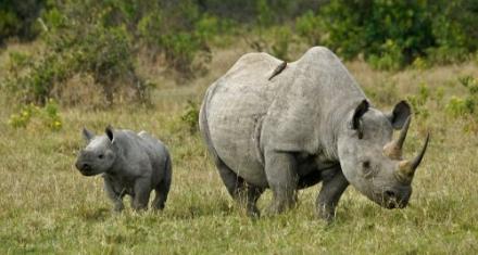 Murió el último rinoceronte negro de Kenia