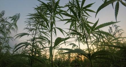 Producción estatal de cannabis para uso medicinal en Argentina