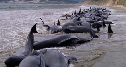 Un centenar de ballenas piloto murieron varadas en Nueva Zelanda