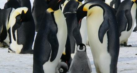 El cambio climático hace que el pingüino emperador no se reproduzca