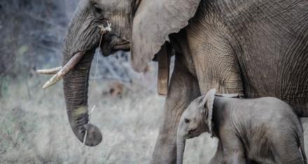 Una investigación señala que los elefantes reaccionan con sensibilidad hacia la muerte