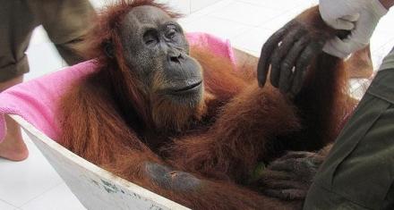 Indonesia: La orangutana Hope sobrevivió a 74 disparos de perdigón