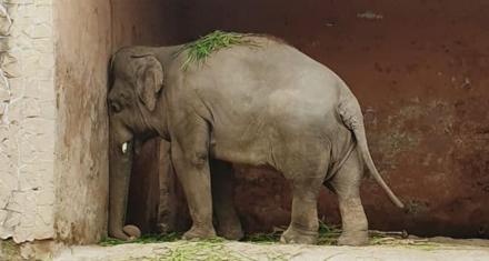Libertad para Kaavan, el elefante deprimido de un zoo de Pakistan