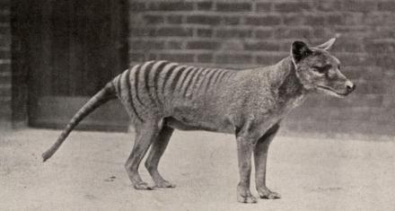 Tasmania: Animal que se creía extinto hace 80 años fue visto 8 veces en los últimos 3 años